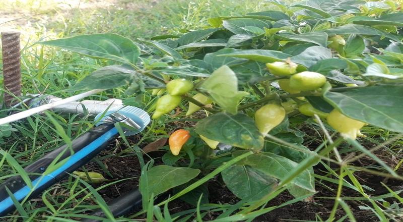 Furto delle piantine di peperoncino, il Sindaco:un gesto inqualificabile che offende tutta la nostra comunità